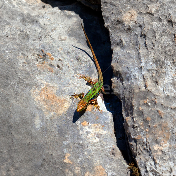 http://stockfresh.com/files/b/bsani/m/98/2253469_stock-photo-sand-lizard-bask-on-rock.jpg
