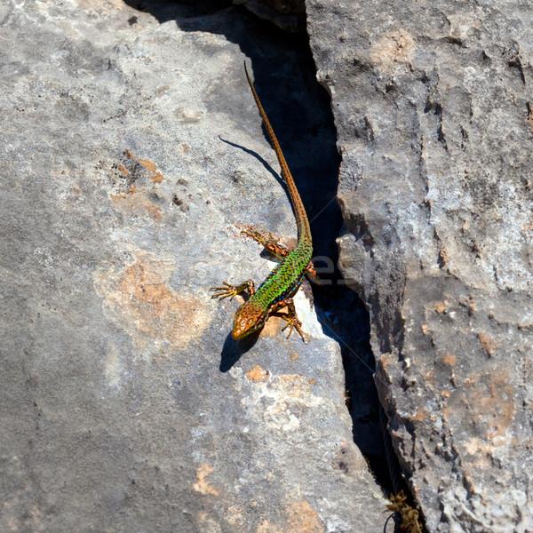 http://stockfresh.com/files/b/bsani/m/98/2253469_stock-photo-sand-lizard-bask-on-rock.jpg