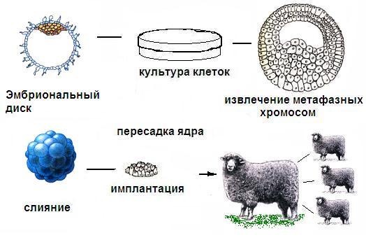 Картинки по запросу Методика, с помощью которой Кэмпбелл и его коллеги клонировали овец.