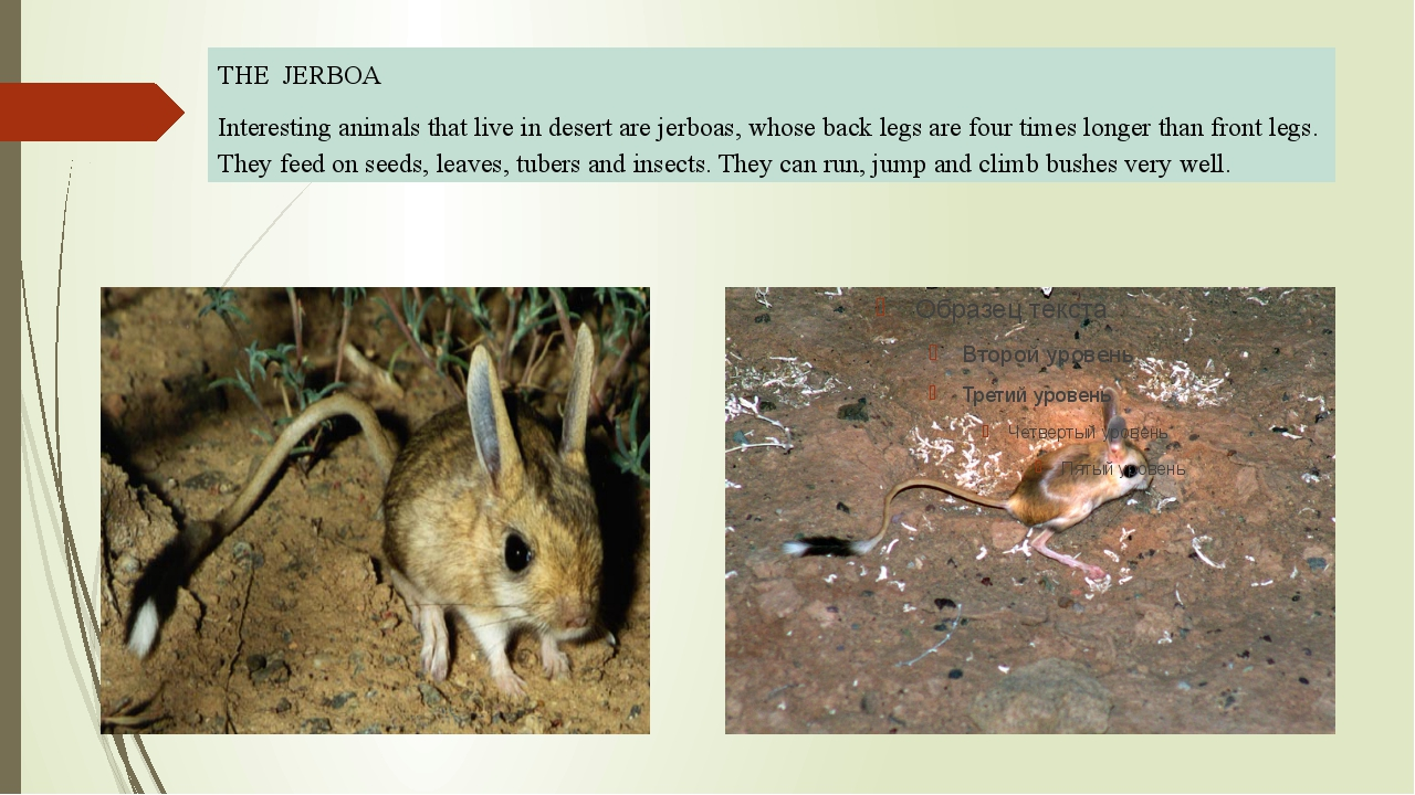 THE JERBOA Interesting animals that live in desert are jerboas, whose back l...