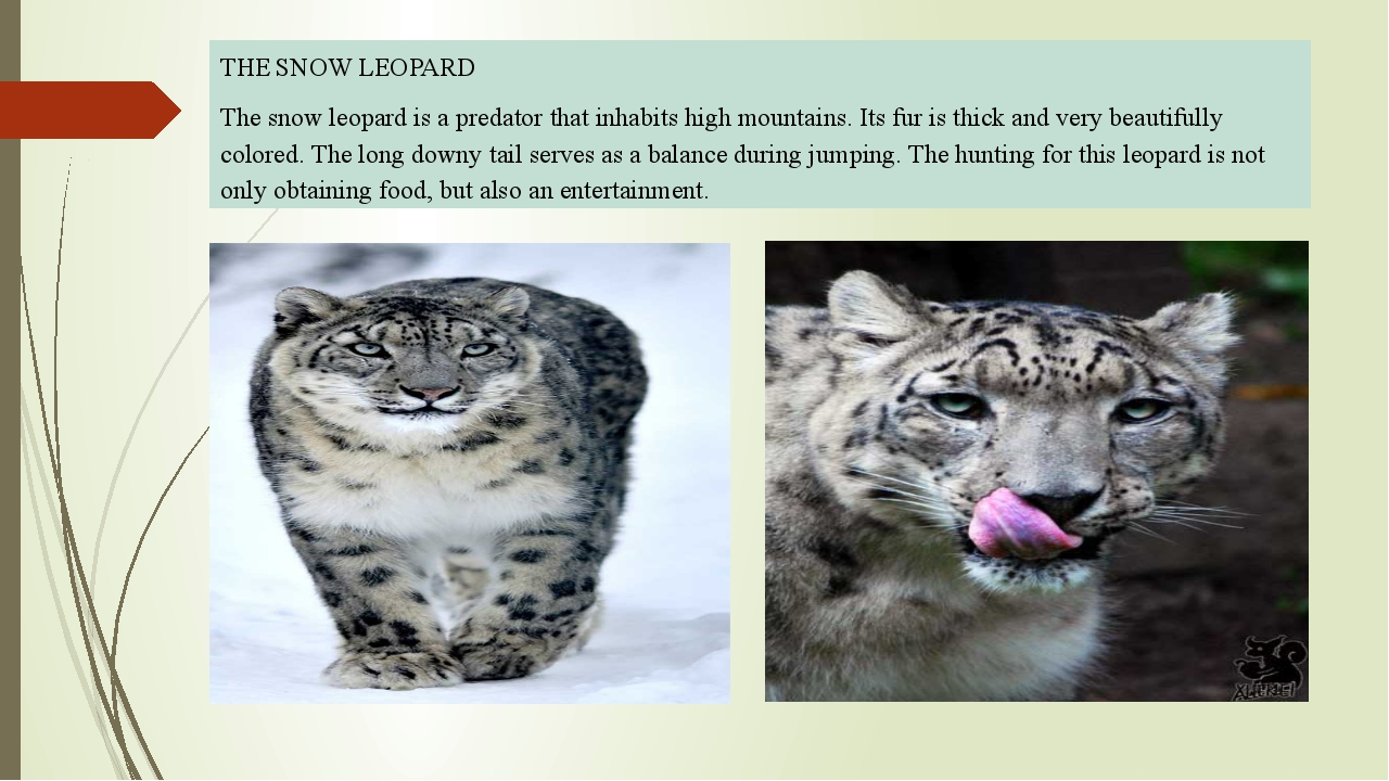 THE SNOW LEOPARD The snow leopard is a predator that inhabits high mountains...