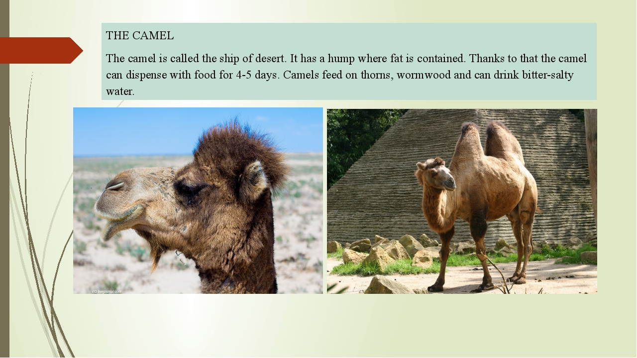 THE CAMEL The camel is called the ship of desert. It has a hump where fat is...