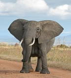 http://upload.wikimedia.org/wikipedia/commons/thumb/3/37/African_Bush_Elephant.jpg/265px-African_Bush_Elephant.jpg