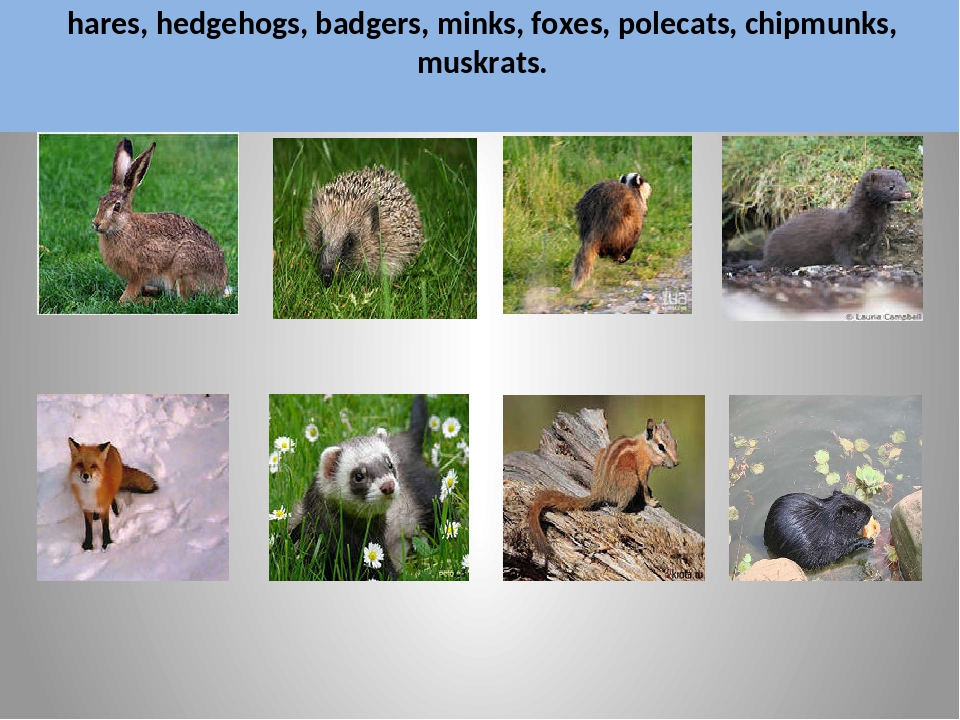 hares, hedgehogs, badgers, minks, foxes, polecats, chipmunks, muskrats.
