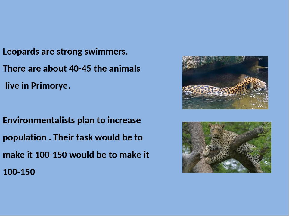 Leopards are strong swimmers. There are about 40-45 the animals live in Prim...